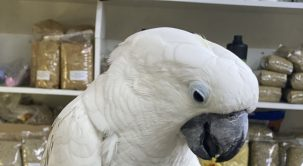Kakadu Papağanı Hakkında Merak Edilenler