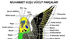 Muhabbet Kuşu Vücut Parçaları Açıklaması